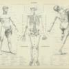 Fysiologi - Anatomi plakat - Anatomi plakat