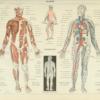 Nervesystemet - Anatomi plakat - Anatomi plakat