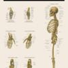 Skelettet fra siden - Anatomi plakat - Få styr på knoglerne med en skelet plakat