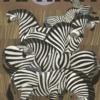 Zoo plakat - Zebraer -